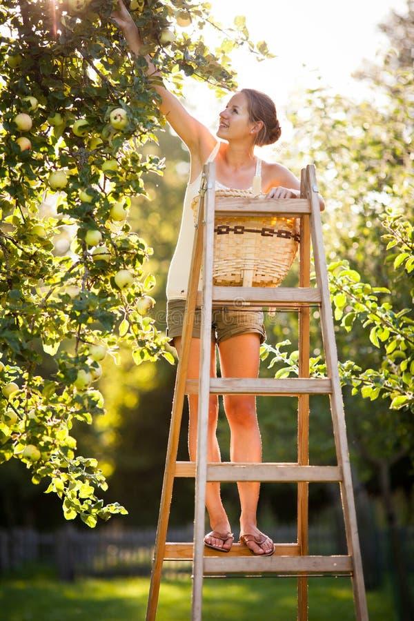 Νέα γυναίκα επάνω στα μήλα μιας σκαλών επιλογής από ένα δέντρο μηλιάς στοκ εικόνα