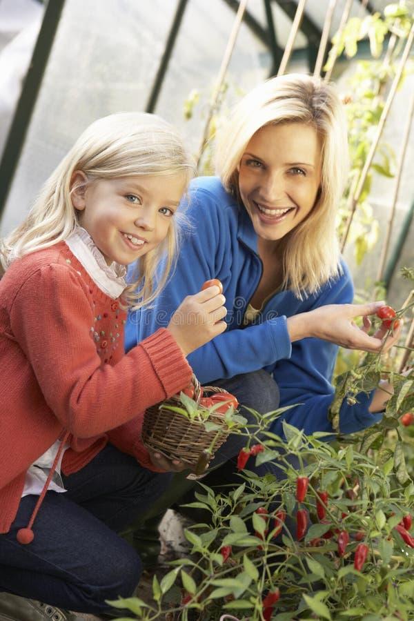 Νέα γυναίκα με τις ντομάτες συγκομιδής παιδιών στοκ φωτογραφίες