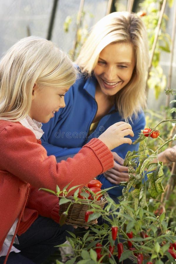 Νέα γυναίκα με τις ντομάτες συγκομιδής παιδιών στοκ εικόνα