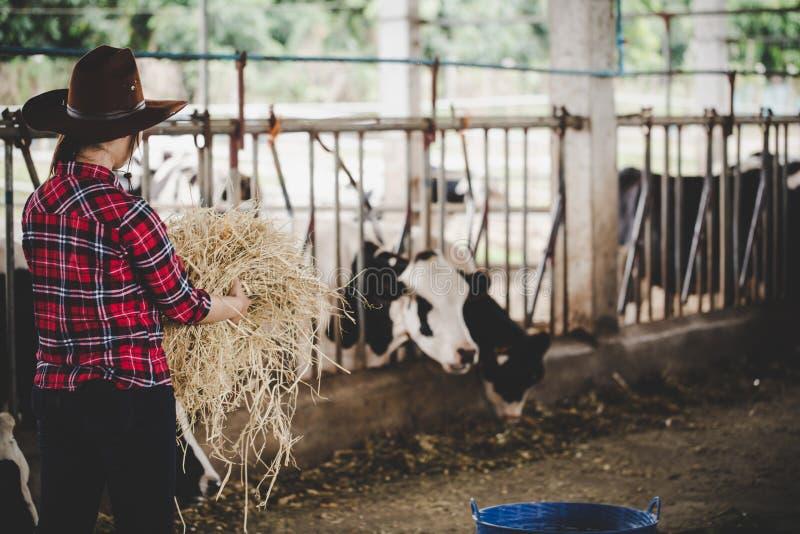 Νέα γυναίκα που εργάζεται με το σανό για τις αγελάδες στο γαλακτοκομικό αγρόκτημα στοκ φωτογραφία