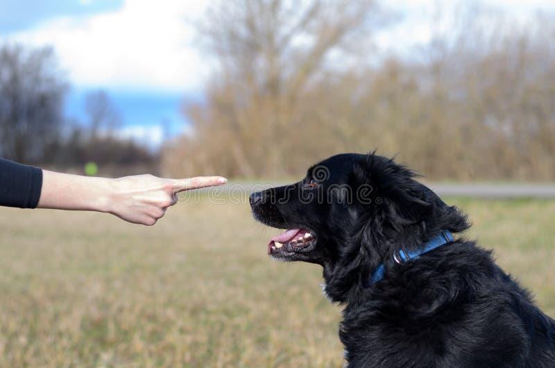 Νέα γυναίκα που διδάσκει τη μαύρη υπακοή σκυλιών της στοκ εικόνα