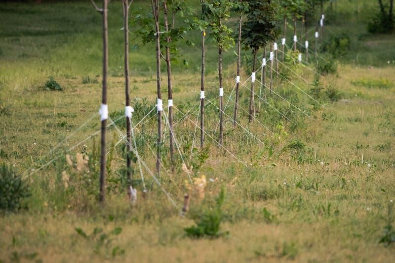 Νέα δέντρα που φυτεύονται σε μια σειρά και που εξασφαλίζονται με ένα σχοινί στοκ φωτογραφία με δικαίωμα ελεύθερης χρήσης