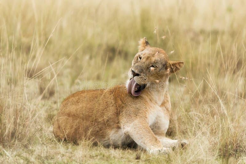 Νέα ενήλικη λιονταρίνα στο Masai Mara στοκ φωτογραφία με δικαίωμα ελεύθερης χρήσης