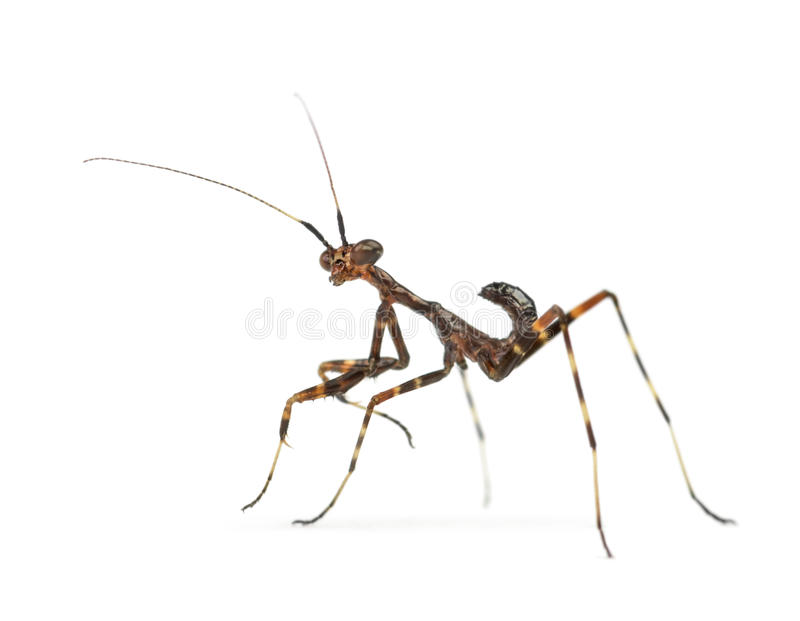 Νέα επίκληση Mantis - binotata Miomantis, που απομονώνεται στο λευκό στοκ εικόνες