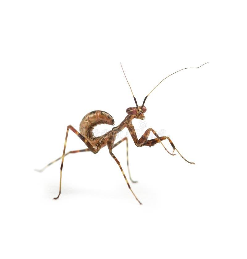 Νέα επίκληση Mantis - binotata Miomantis, που απομονώνεται στο λευκό στοκ εικόνα με δικαίωμα ελεύθερης χρήσης