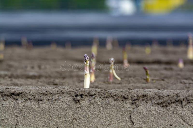 Νέα εποχή συγκομιδών στους φυτικούς τομείς σπαραγγιού, άσπρη και πορφυρή ανάπτυξη σπαραγγιού που αποκαλύπτεται στο αγρόκτημα στοκ φωτογραφία