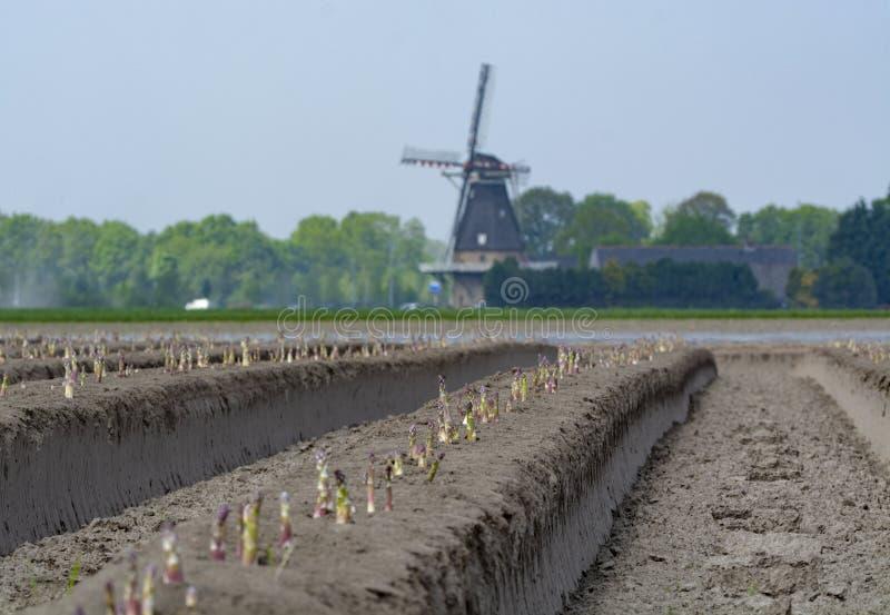 Νέα εποχή συγκομιδών στους φυτικούς τομείς σπαραγγιού, άσπρη και πορφυρή ανάπτυξη σπαραγγιού που αποκαλύπτεται στο αγρόκτημα στοκ εικόνες με δικαίωμα ελεύθερης χρήσης