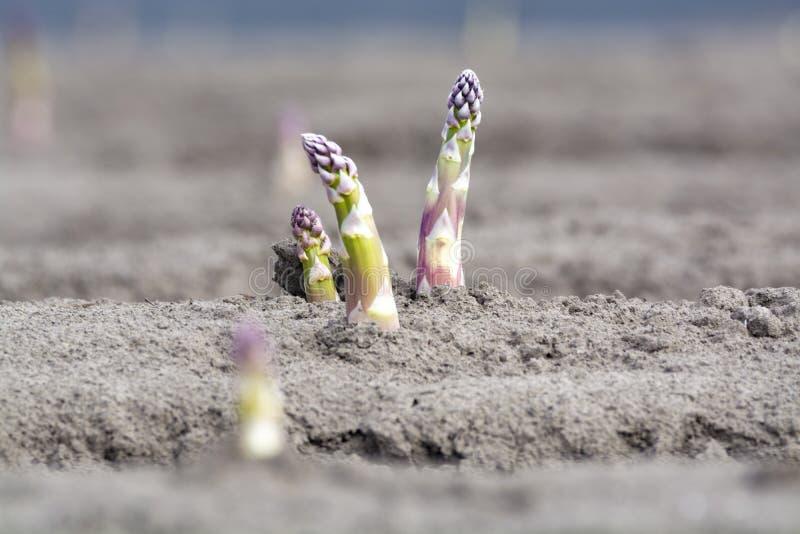 Νέα εποχή συγκομιδών στους φυτικούς τομείς σπαραγγιού, άσπρη και πορφυρή ανάπτυξη σπαραγγιού που αποκαλύπτεται στο αγρόκτημα στοκ φωτογραφία με δικαίωμα ελεύθερης χρήσης