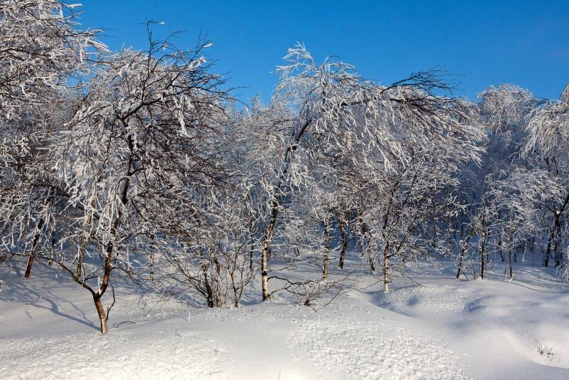 Νέα ευρωπαϊκή άσπρη σημύδα χειμερινού χιονιού, υψηλοί βάλτοι, Βέλγιο στοκ εικόνες