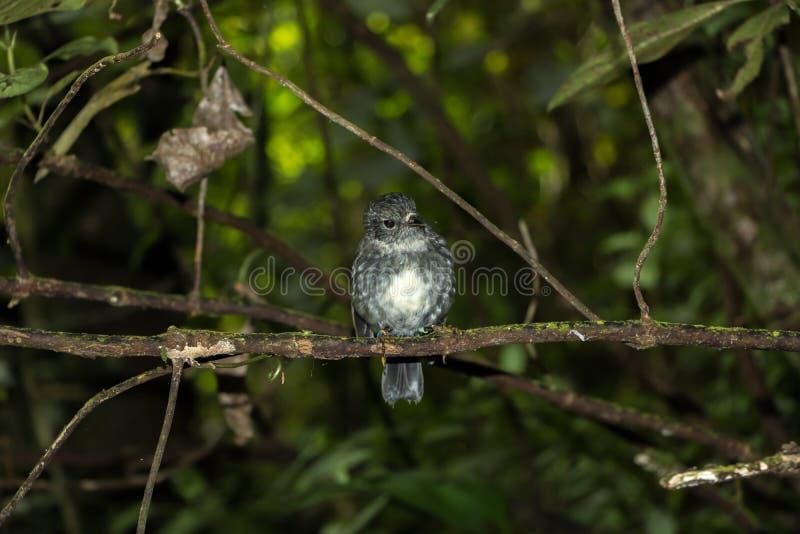 Νέα Ζηλανδία η εγγενής Robin στοκ φωτογραφία με δικαίωμα ελεύθερης χρήσης