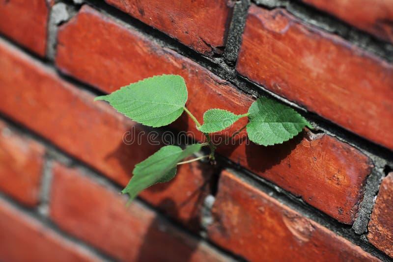 Ισχυρή νέα ζωή στον τούβλινο τοίχο στοκ εικόνες