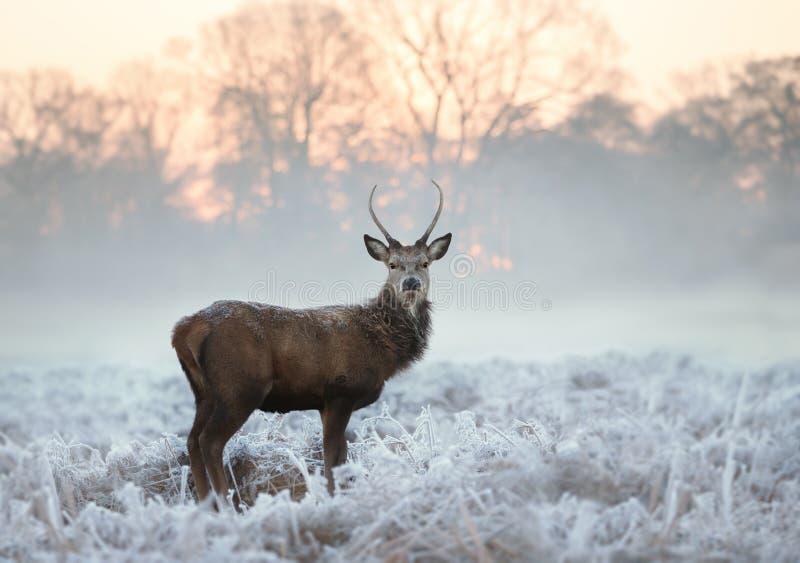 Νέα κόκκινα ελάφια που στέκονται σε ένα κρύο χειμερινό πρωί στοκ εικόνες με δικαίωμα ελεύθερης χρήσης