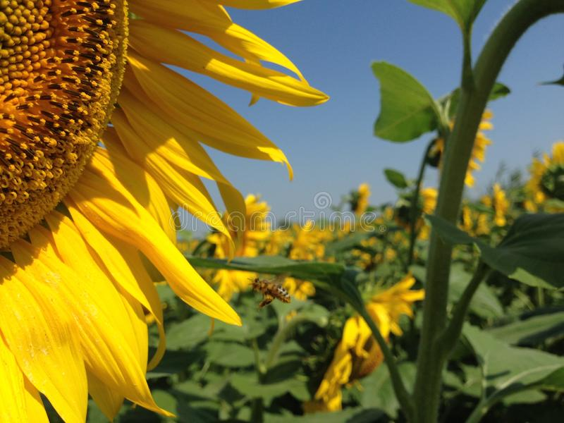 Νέα λουλούδια ενός ηλίανθου με τα χρυσά πέταλα στοκ φωτογραφίες