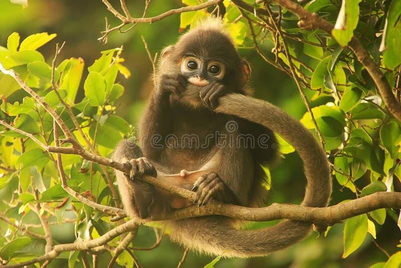 Νέα με γυαλιά συνεδρίαση langur σε ένα δέντρο, λουρί εθνικό μΑ ANG στοκ εικόνα με δικαίωμα ελεύθερης χρήσης