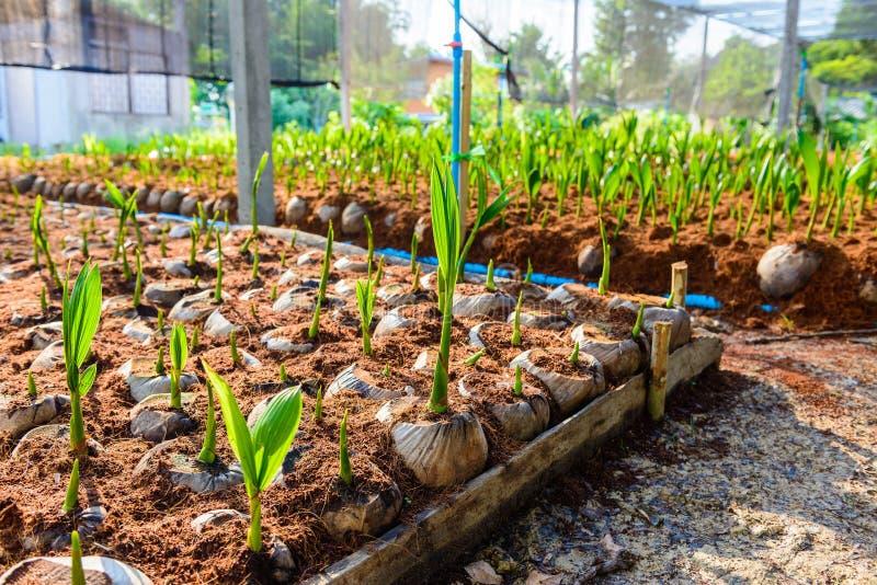 Νέα μικρά δέντρα καρύδων προετοιμασίες για τέτοιες ποικιλίες για το π στοκ εικόνες με δικαίωμα ελεύθερης χρήσης