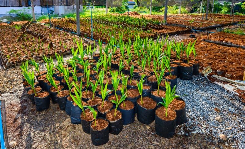 Νέα μικρά δέντρα καρύδων προετοιμασίες για τέτοιες ποικιλίες για το π στοκ φωτογραφία