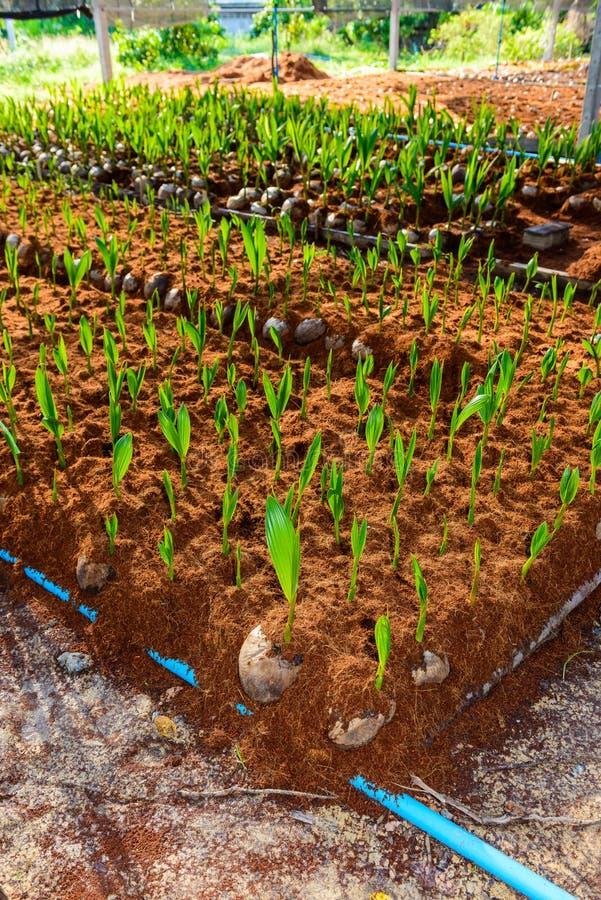 Νέα μικρά δέντρα καρύδων προετοιμασίες για τέτοιες ποικιλίες για το π στοκ φωτογραφία με δικαίωμα ελεύθερης χρήσης