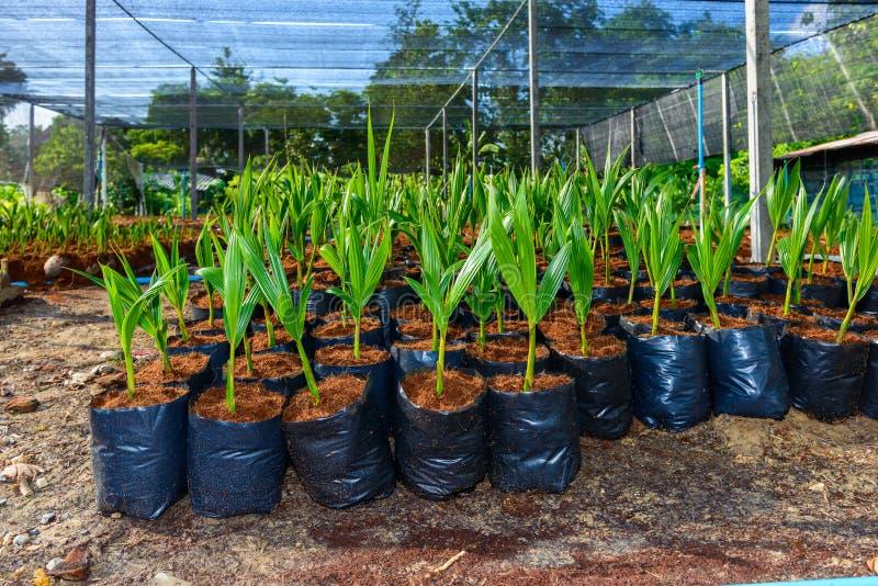 Νέα μικρά δέντρα καρύδων προετοιμασίες για τέτοιες ποικιλίες για το π στοκ εικόνα