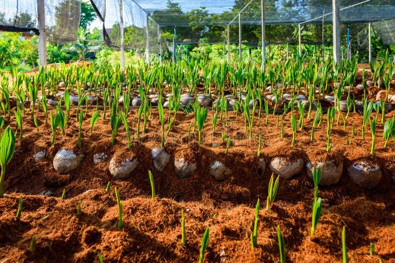 Νέα μικρά δέντρα καρύδων προετοιμασίες για τέτοιες ποικιλίες για το π στοκ εικόνες