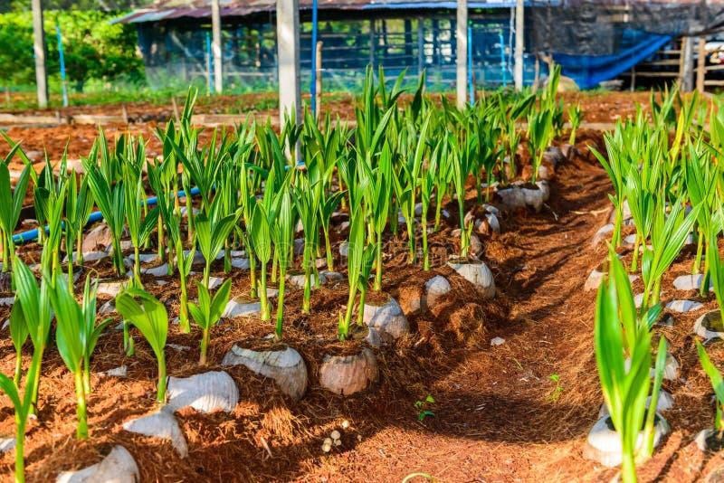 Νέα μικρά δέντρα καρύδων προετοιμασίες για τέτοιες ποικιλίες στοκ φωτογραφίες με δικαίωμα ελεύθερης χρήσης
