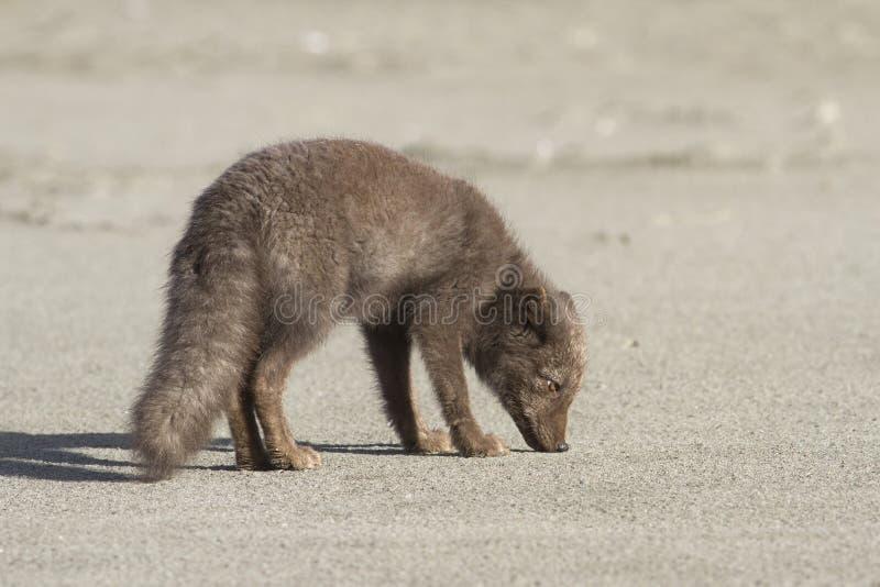 Νέα μπλε αρκτική αλεπού διοικητών που στέκεται στο φθινόπωρο παραλιών στοκ φωτογραφία με δικαίωμα ελεύθερης χρήσης