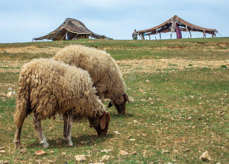Νέα νέα πρόβατα στα βουνά ατλάντων στο χωριό berbers υποβάθρου στοκ εικόνες με δικαίωμα ελεύθερης χρήσης