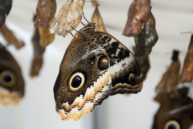 Νέα πεταλούδα που προκύπτει από την ένωση των χρυσαλίδων στοκ φωτογραφίες