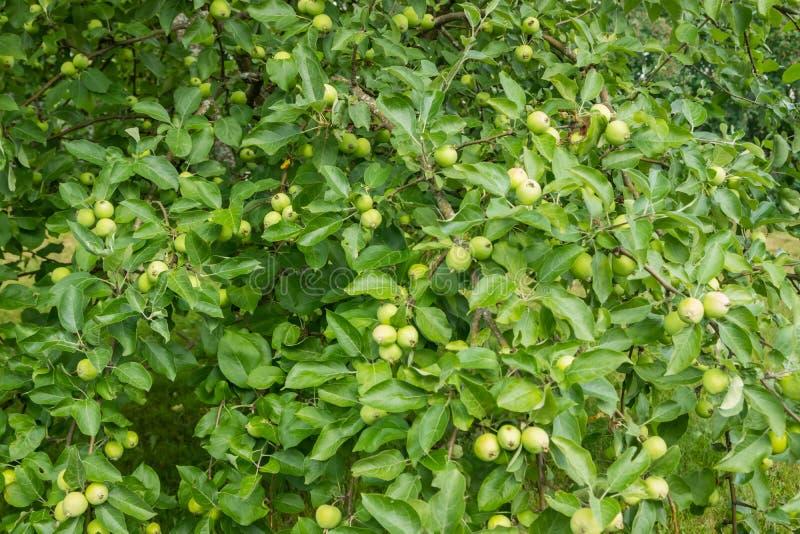 Νέα πράσινα μήλα, φρούτα στους κλάδους των δέντρων μηλιάς στοκ εικόνες