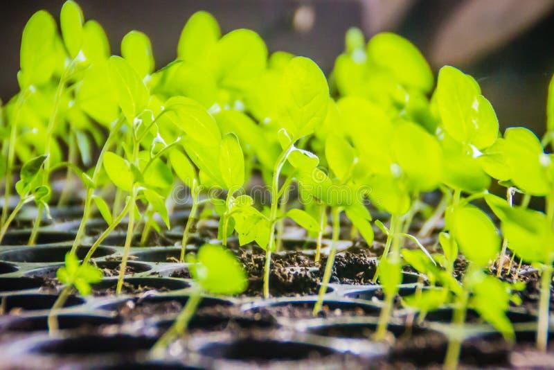Νέα πράσινα σπορόφυτα μελιτζάνας που αυξάνονται στα μαύρα πλαστικά δοχεία νεαροί βλαστοί των μελιτζανών που προέρχονται από τους  στοκ φωτογραφία με δικαίωμα ελεύθερης χρήσης