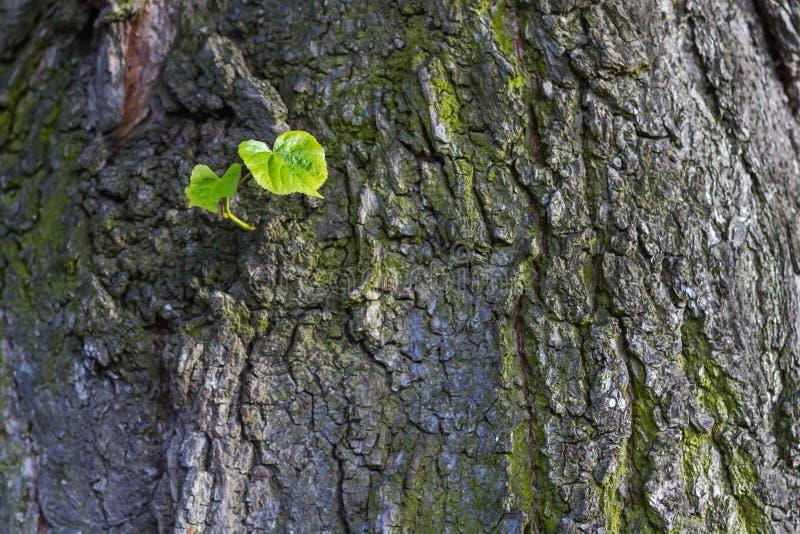 Νέα πράσινα φύλλα γεννημένα στο παλαιό δέντρο, κατασκευασμένο υπόβαθρο Νέα μεταφορά ζωής στοκ εικόνες