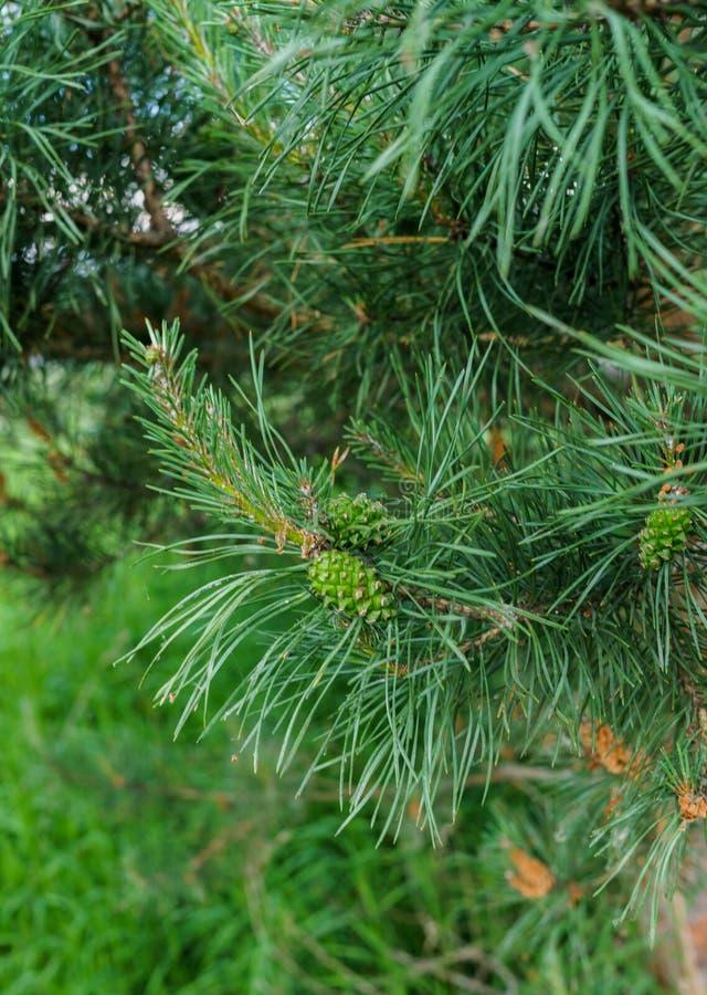 Νέα πράσινη πρόσκρουση σε έναν όμορφο κλάδο πεύκων στοκ εικόνες