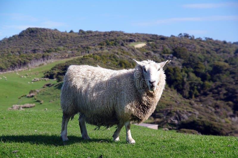 νέα πρόβατα Ζηλανδία στοκ εικόνες
