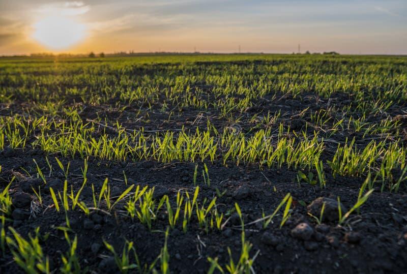 Νέα σπορόφυτα σίτου που αυξάνονται σε έναν τομέα Πράσινη ανάπτυξη σίτου στο χώμα Κλείστε επάνω στη βλαστάνοντας σίκαλη γεωργική σ στοκ φωτογραφίες