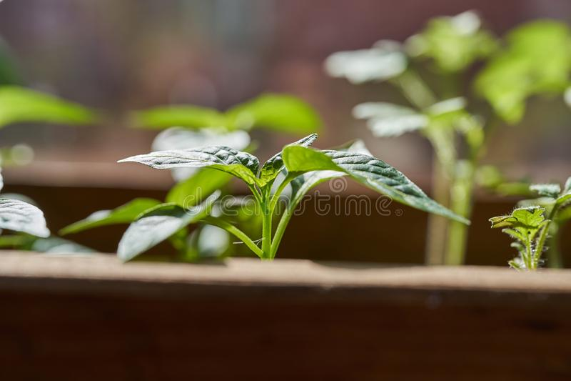 Νέα σπορόφυτα των πιπεριών στο κιβώτιο στοκ εικόνα
