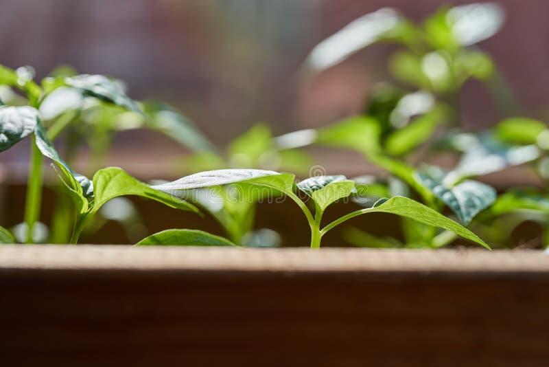 Νέα σπορόφυτα των πιπεριών στο κιβώτιο στοκ εικόνες με δικαίωμα ελεύθερης χρήσης