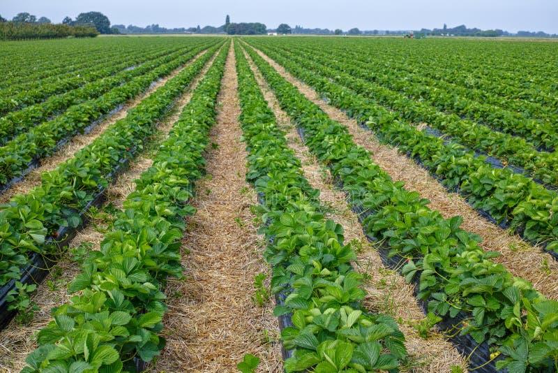 Νέα συγκομιδή της γλυκιάς φρέσκιας υπαίθριας κόκκινης φράουλας, outsi ανάπτυξης στοκ εικόνα με δικαίωμα ελεύθερης χρήσης