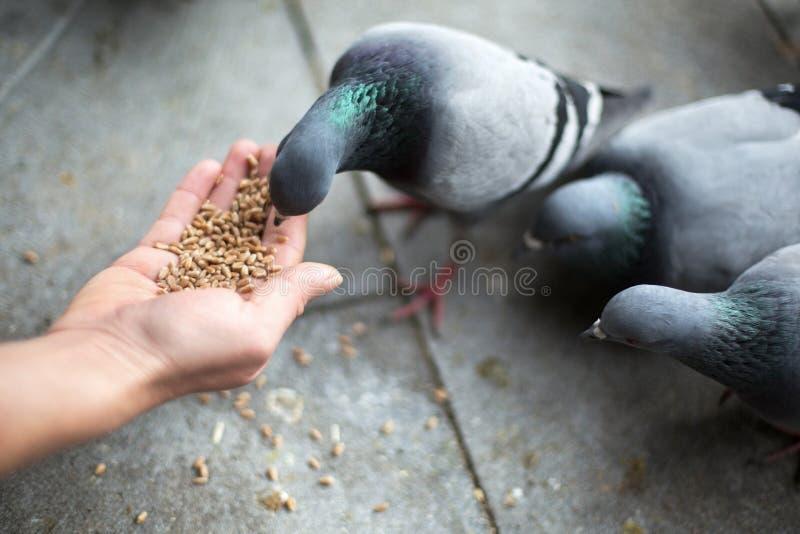 Νέα ταΐζοντας πουλιά γυναικών στοκ εικόνες με δικαίωμα ελεύθερης χρήσης