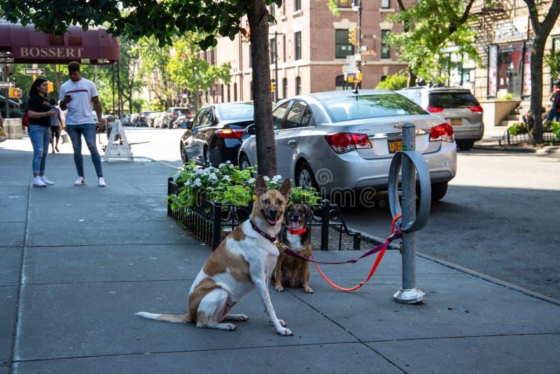Νέα Υόρκη, πόλη/ΗΠΑ - 10 Ιουλίου 2018: Σκυλιά που περιμένουν έξω από τη γουλιά στοκ εικόνα με δικαίωμα ελεύθερης χρήσης