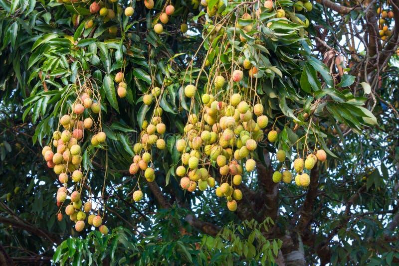 Νέα φρέσκα lychees στο δέντρο στοκ φωτογραφία με δικαίωμα ελεύθερης χρήσης