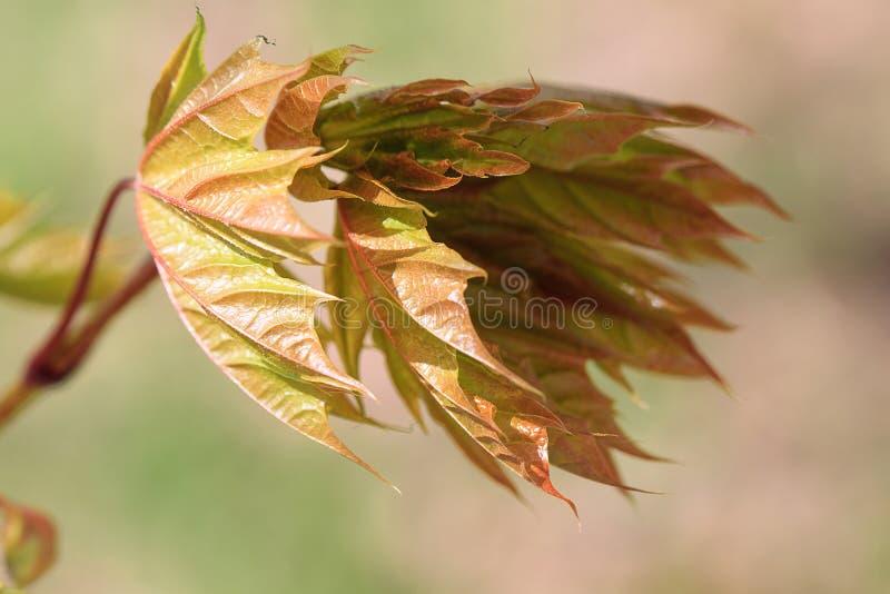 Νέα φύλλα σε έναν τέφρα-με φύλλα σφένδαμνο κλάδων στοκ φωτογραφίες