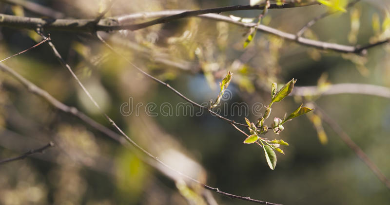 Νέα φύλλα του serotina prunus στον ήλιο στοκ εικόνες με δικαίωμα ελεύθερης χρήσης