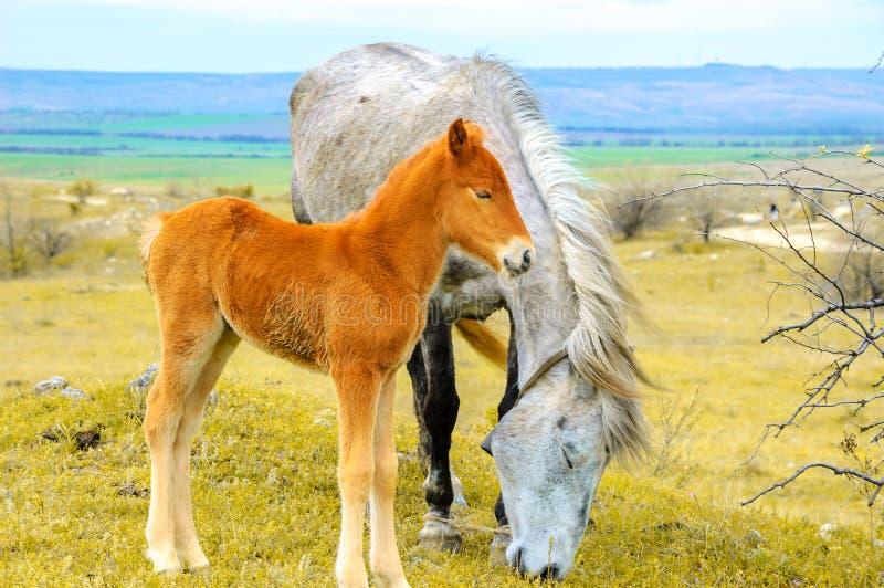 Νέα foal βοσκή με το άλογο μητέρων στοκ εικόνα