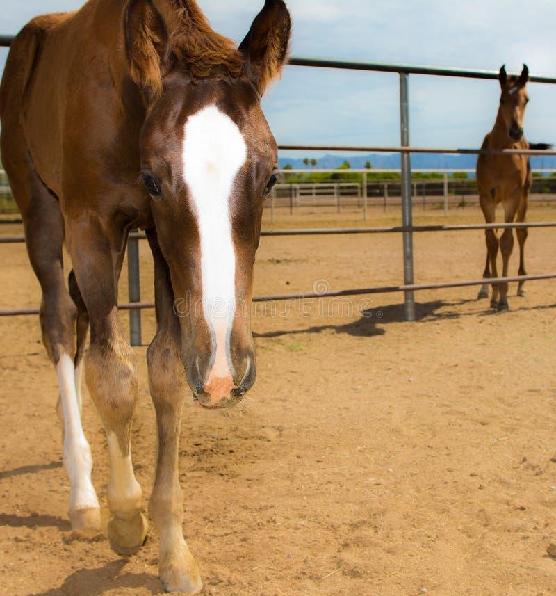 Νέα Foals εξετάζουν τη κάμερα στοκ εικόνα με δικαίωμα ελεύθερης χρήσης