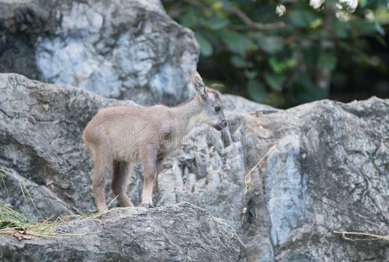 Νέα goral στάση στο βράχο στοκ εικόνες