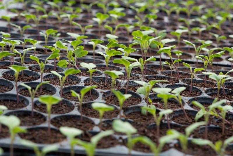 Νέες εγκαταστάσεις στον πλαστικό δίσκο βρεφικών σταθμών, φυτικό αγρόκτημα βρεφικών σταθμών στοκ εικόνες με δικαίωμα ελεύθερης χρήσης