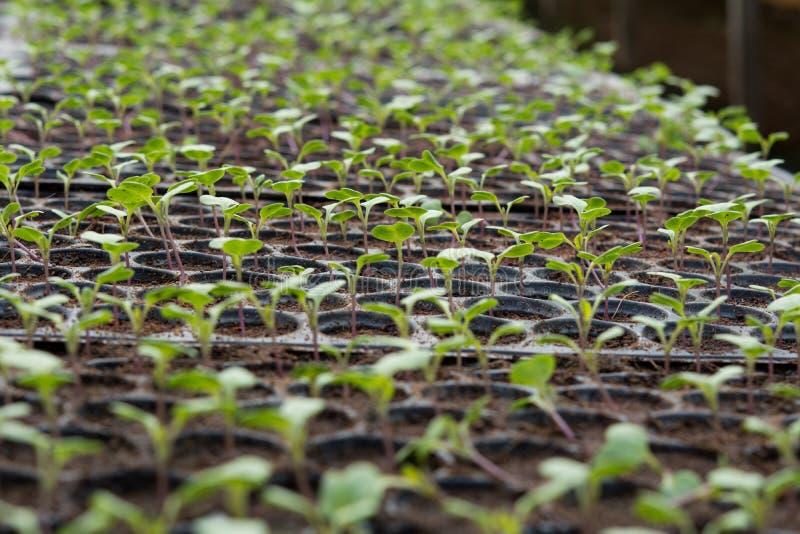 Νέες εγκαταστάσεις στον πλαστικό δίσκο βρεφικών σταθμών, φυτικό αγρόκτημα βρεφικών σταθμών στοκ εικόνες