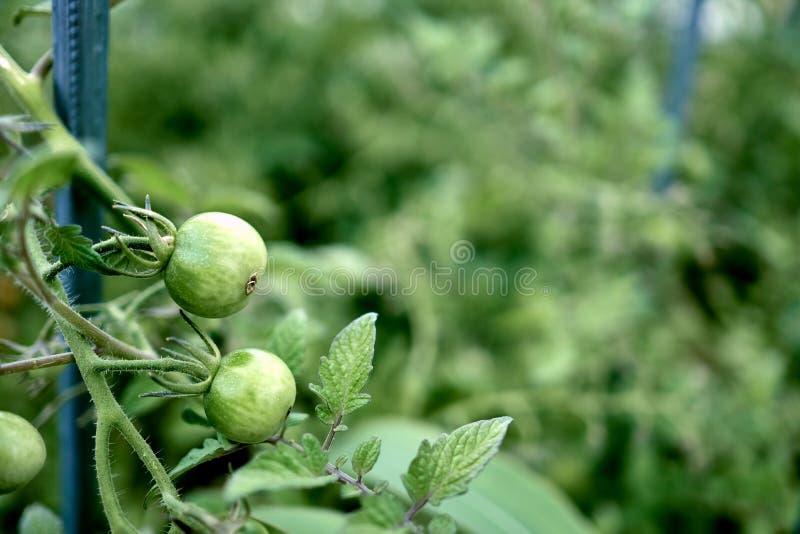 Νέες και φρέσκες ντομάτες κερασιών στην πράσινη ένωση στο μίσχο του στοκ φωτογραφία με δικαίωμα ελεύθερης χρήσης