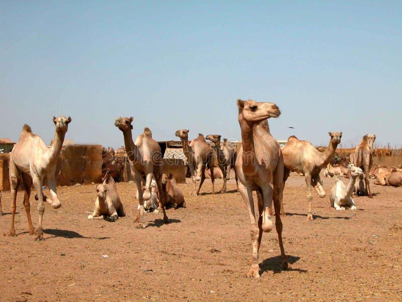 Νέες καμήλες στην αγορά καμηλών στην Αίγυπτο στοκ φωτογραφία με δικαίωμα ελεύθερης χρήσης