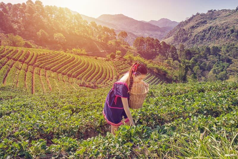 Νέες φυλετικές ασιατικές γυναίκες από τα φύλλα τσαγιού επιλογής της Ταϊλάνδης με το πρόσωπο χαμόγελου στη φυτεία τομέων τσαγιού στοκ εικόνες