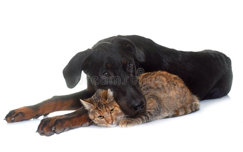 Νέες beauceron και γάτα στο στούντιο στοκ εικόνες με δικαίωμα ελεύθερης χρήσης